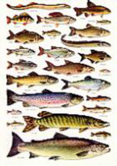 Books on british freshwater fish british freshwater fishes charts british freshwater fishes an a5 identification wall chart sciox Images