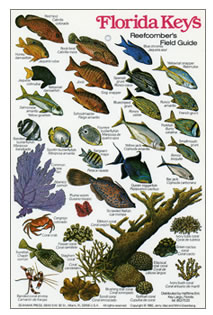 Fish identification guides reef fish identification for Fish species in florida