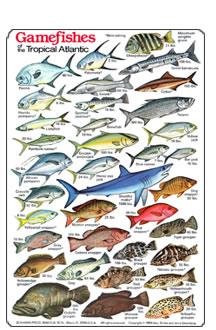Fish identification guides reef fish identification for Hawaiian fish identification